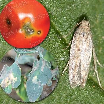 piege pheromone contre la mineuse de la tomate tuta