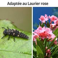 Special Laurier Rose - 50 larves de coccinelle Coccilaure