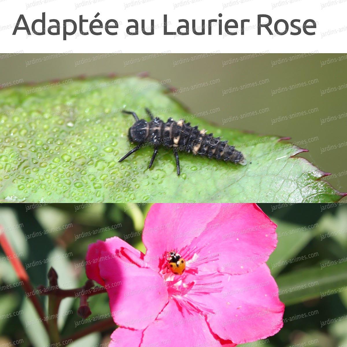 Special laurier rose 50 larves de coccinelle coccilaure anti pucerons cochenille bio - Larve de coccinelle ...