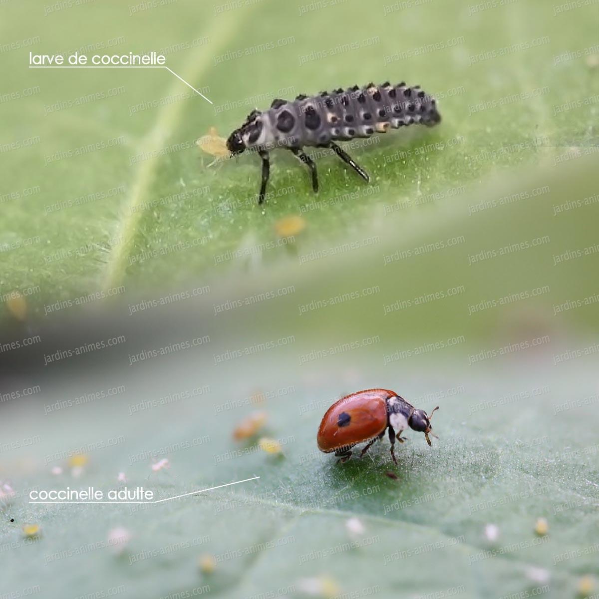 larves de coccinelle europ enne anti pucerons anti pucerons cochenille bio. Black Bedroom Furniture Sets. Home Design Ideas