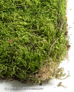 mousse v g tale cultiv e pour jardin japonais plantes fleurs et mousses. Black Bedroom Furniture Sets. Home Design Ideas
