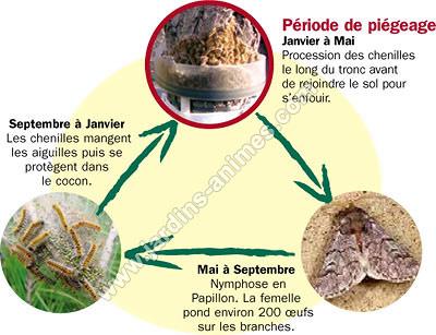 Eco pi ge contre chenille processionnaire du pin anti chenille processionnaire - Papillon de la chenille processionnaire ...