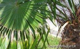 palmier traitement