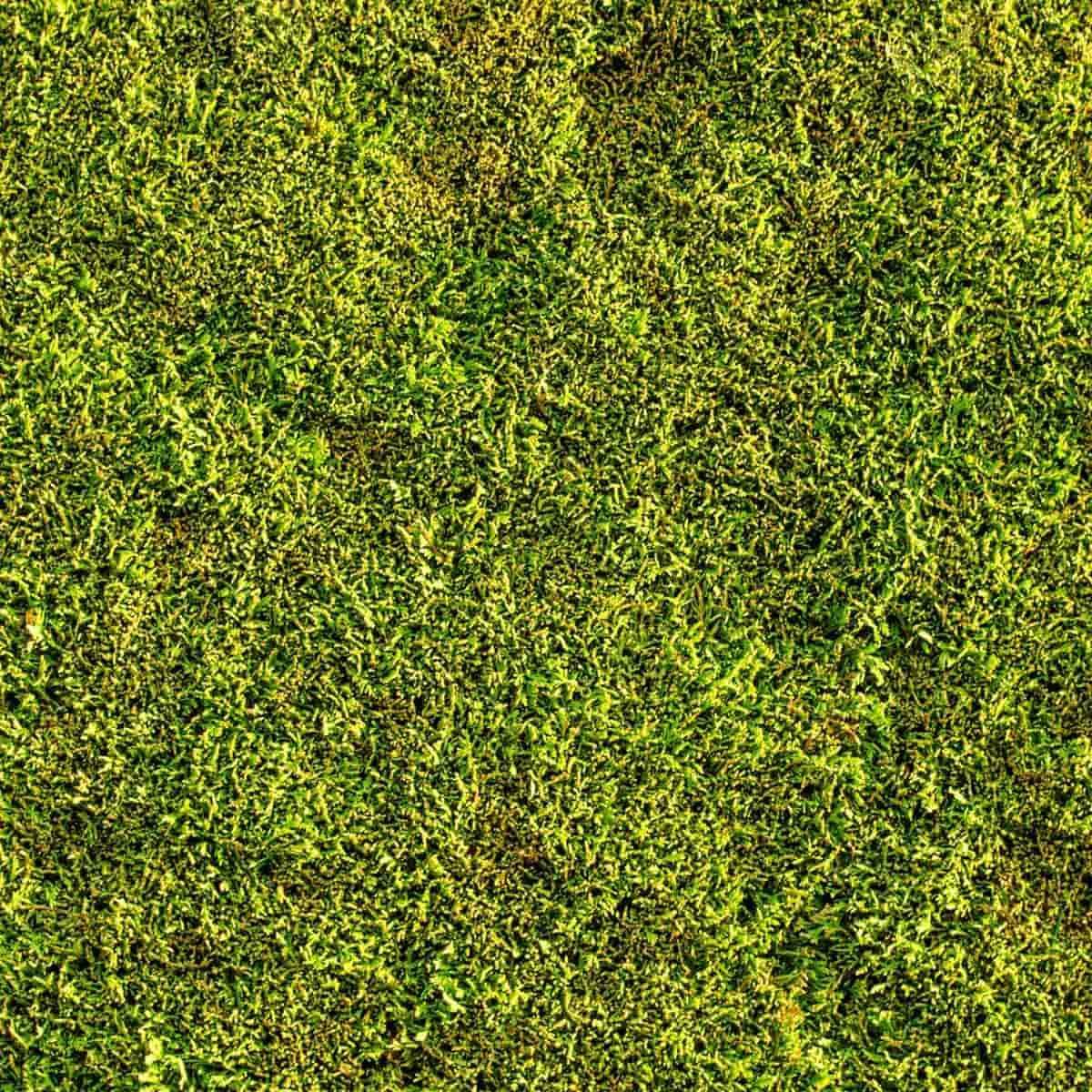 Mousse végétale cultivée 0.3m2 pour Jardin Japonais