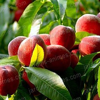 Phéromone pour mouche des fruits (2 capsules)