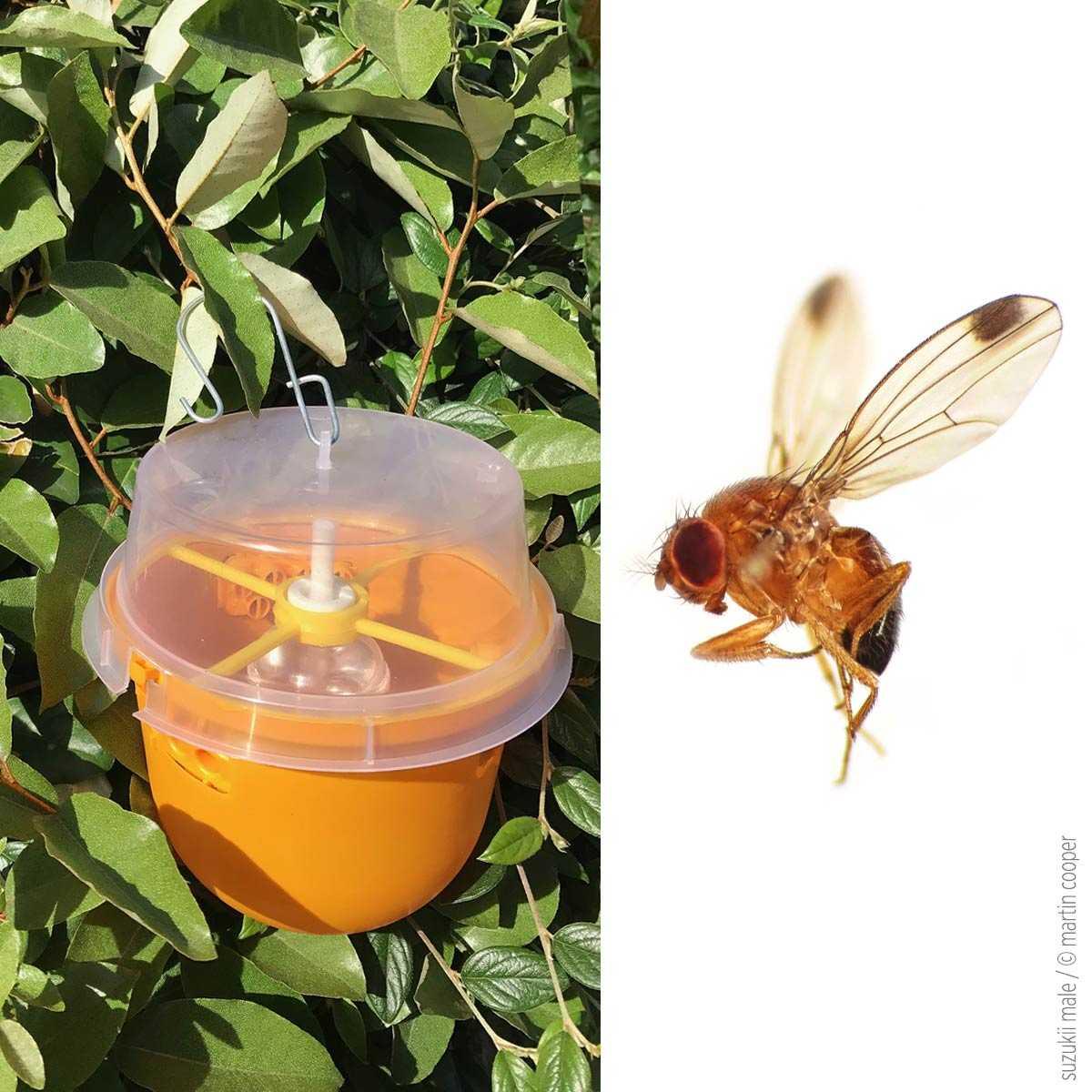 Comment Se Débarrasser Des Petite Mouche piege mouche asiatique des fruits et cerise suzukii