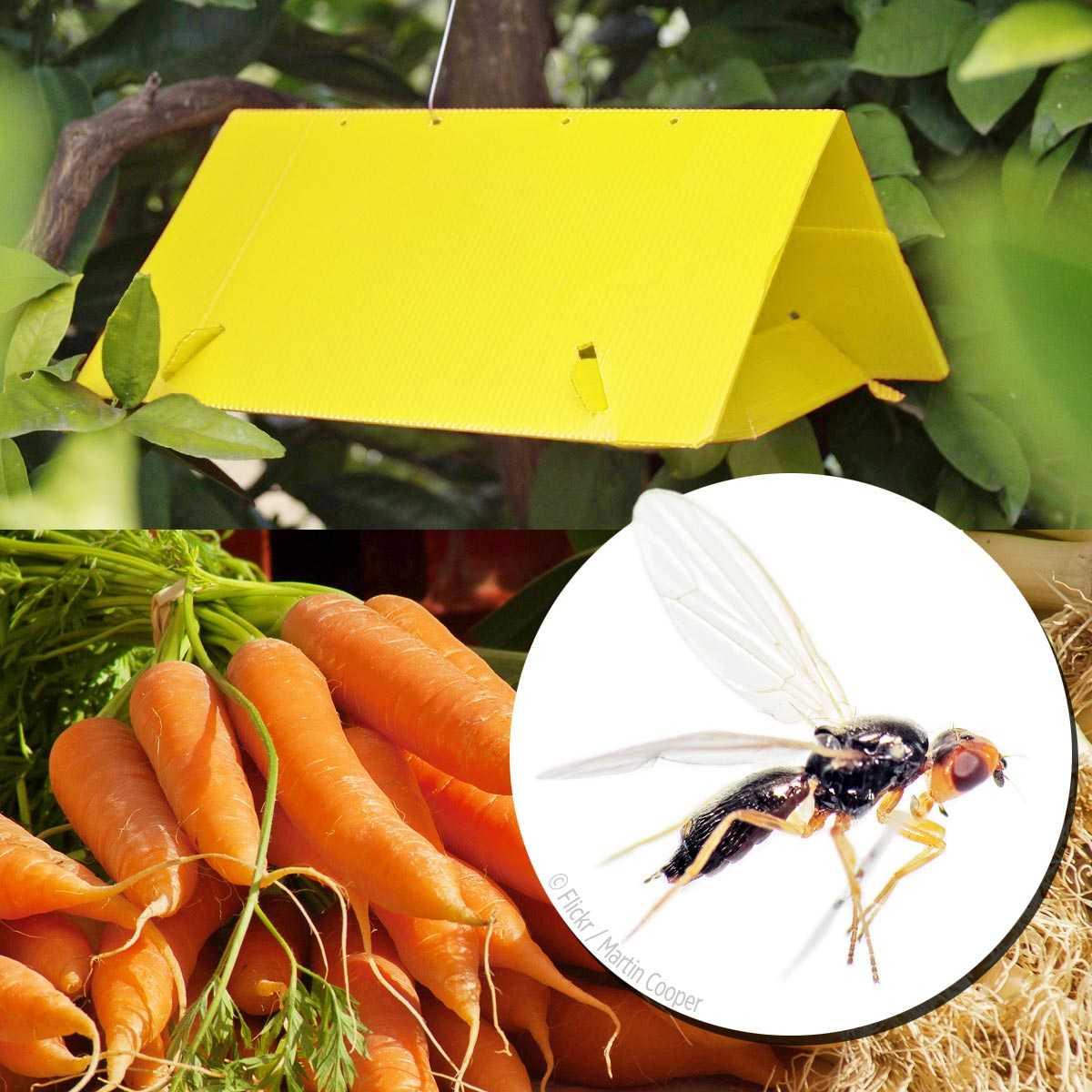 pi ge et ph romone mouche de la carotte traitement anti. Black Bedroom Furniture Sets. Home Design Ideas